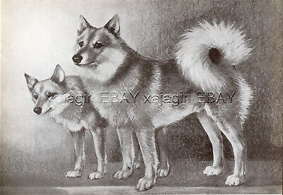 DOG Finnish Spitz Pair (Named) Sketch Portrait, Beautiful Art Print from 1930s