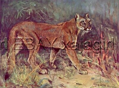 Mountain Lion Cougar Puma, 100+ Yr-old Antique Print CE Swan
