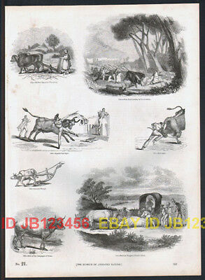 COW Bulls Bull Fighting Hunting, Antique 1840s Print