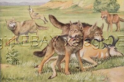Wolf Hunting Coyote Lurking Behind, 85+ Year Old Print