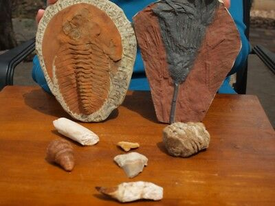 Fossil Collection Mosasaur Dinosaur Tooth + XL Crinoid Fossil + 6 Species