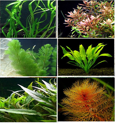 25 LIVE AQUARIUM PLANTS - Tropical coldwater freshwater aquatic fish tank plant