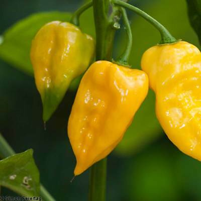 Lemon Habanero Hot Pepper Garden Seeds - Non-Gmo, Heirloom Vegetable Gardening