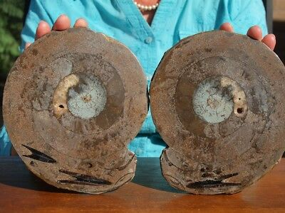 Huge Sliced Ammonite with Unknown Fossil species inclusion set in the Shell