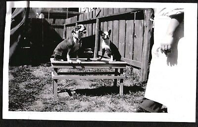 Vintage Photograph 1927-1930's Pennsylvania Boston Terrier Dogs Puppy Old Photo