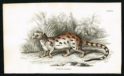 1842 South-African Large Spotted Cape Genet Antique Hand-Colored Engraving Print