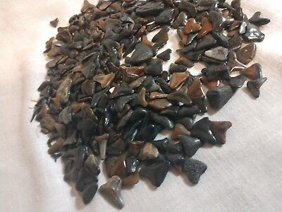 LOT of Fossilized Shark Teeth over 6 oz