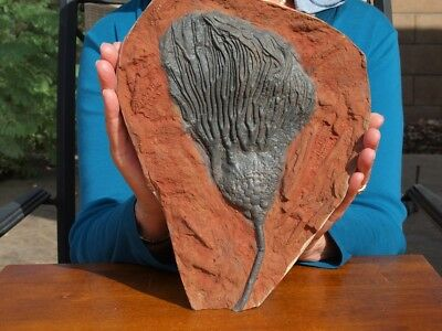"""Huge 10.5"""" inch Detailed Scyphocrinites CRINOID Fossil from Morocco"""