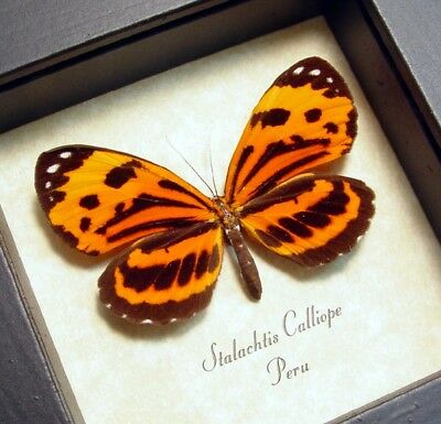 Real Framed Rare Stalachtis Calliope Orange Peruvian Tiger Butterfly 8180