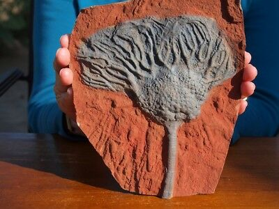 """Huge 7.75"""" inch Detailed Scyphocrinites CRINOID Fossil from Morocco"""