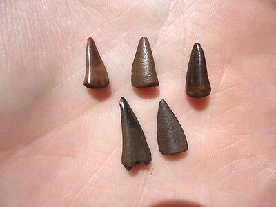 5 Rare Eocene Barracuda Teeth Florida Fossils Fossil Fish Tooth Skull Bone Shark