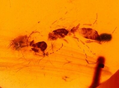 Cretaceous Wasp with Mammal Hairs in Burmite Amber Fossil from the Dinosaur Age