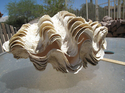 "Tridacna Squamosa Fluted Giant Corallized Clam Shell Matched Pair, 12"","