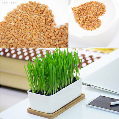 A34F ED08 Organic Green 800 Wheat Seeds Great Sprouting Cat Dog Pet Grass Treat