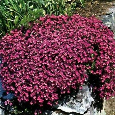Rock Cress -Cascading Red- Aubrieta Hybrida Superbissima -50 Seeds
