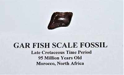 Gar Fish Scale Real Fossil Morocco 1/2 Inch Small Size With COA #14088 4o