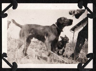 Vintage Photograph 1920-30's French Bulldog Airedale Terrier Dog Treat Old Photo