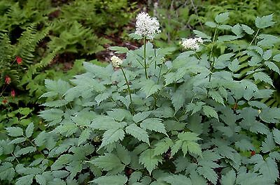 Rare  and  Hard To Find 25 Seeds  Dioscorea nipponica For Germination