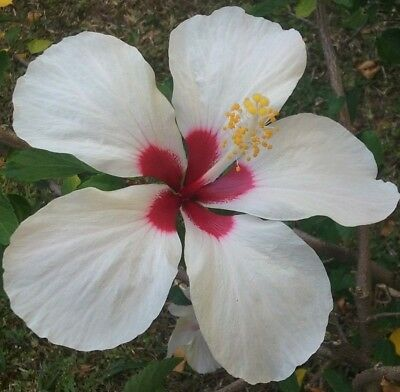 2 Tropical White Wings Hibiscus Well Rooted Live Starter Plant 4 To