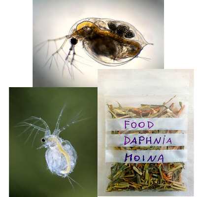 Starter Culture Daphnia Daphnie, Moina, live food supply for fish, frogs, triops
