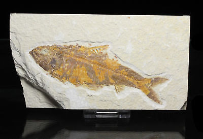 Fossil Fish, Knightia eocena, 4.56 inches, Green River Formation, Wyoming