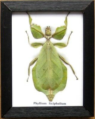 Real Beetle Walking Leaf Insect Display PHYLLIUM Bug Taxidermy in Frame Gift