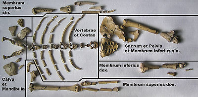 """""""Lucy"""" Australopithecus afarensis - Replica of complete   find"""