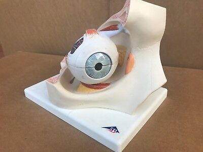 Human Eye Model In Orbi, Part, Dissectable. 3B