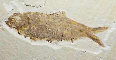 Fossil Fish, Knightia eocena, 4.54 inches, Green River Formation, Wyoming