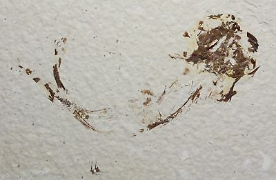 Fossil Fish, Knighta, Green River Formation, Wyoming, laterally compressed