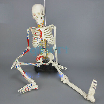 85CM Human Muscular Skeleton Model Muscle Painted Unnumbered Anatomical Skeleton