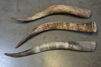 3 Pcs Assort Raw Unfinished Cow Horn Scrimshaw Carving Craft Decor 25-28 Inch