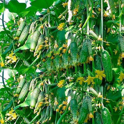 20pcs Cucumber Seeds Organic Russian Pickling Vegetable Fruit Home Garden Plant