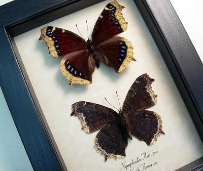 Real Framed Nymphalis Antiopa Mourning Cloak Purple Butterfly Pair 556P