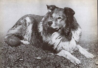 DOG Border Collie Foundation Breed Working Colley, Vintage Print 1930s