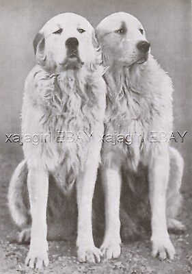 DOG Great Pyrenees Pyrenean Mountain Dog Pair (Named) Vintage Print 1930s