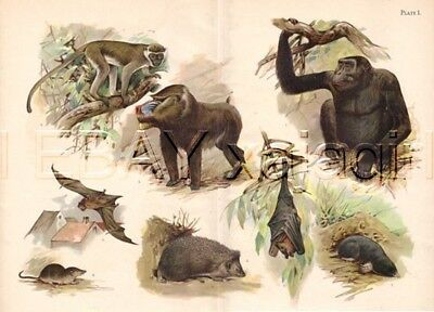 Gorilla, Mandrill, Great Bat, Kalong, Shrew, Hedgehog, HUGE Antique Animal Print