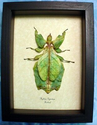 Real Framed Phyllium Giganteum Female Worlds Largest Green Leaf Mimic 2276