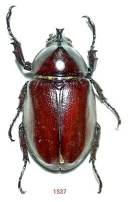 1x. XYLOTRUPES SPECIES FROM BACAN ISLAND (1537)