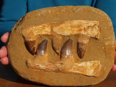 """Mosasaur Dinosaur Jaw Section with Teeth Nice Fossil 7.0"""" inch"""