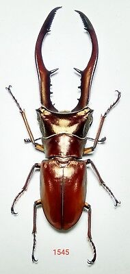1x. CYCLOMMATUS METALLIFER AENOMICANS 65mm FROM BACAN ISLAND (1545)