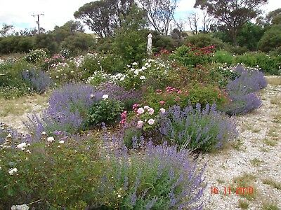 Nepeta Walkers Blue, Drought Hardy, Groundcover clouds of blue flowers, 1 plant