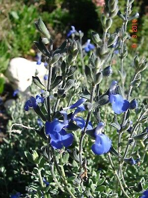 Salvia Chamaedryoides, Lovely Sky Blue flowers drought hardy, 1 x plant