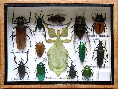 Real Beetle Rare Insect Display PHYLLIUM Taxidermy Bug in Wood Box Collectible