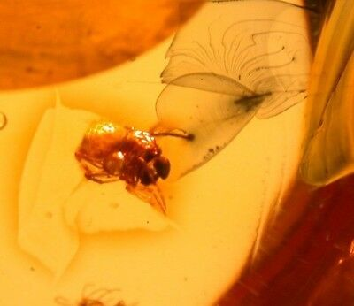 Spider with Pedipalps and Strange Formation in Authentic Dominican Amber Fossil