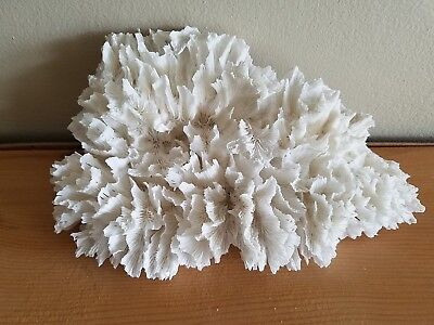 Beautiful Large Natural Reef OPEN BRAIN CORAL 11 X 7 inches 1.2 pounds