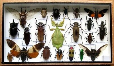21 Real Beetle Boxed Rare Insect Display PHYLLIUM Taxidermy Entomology Zoology