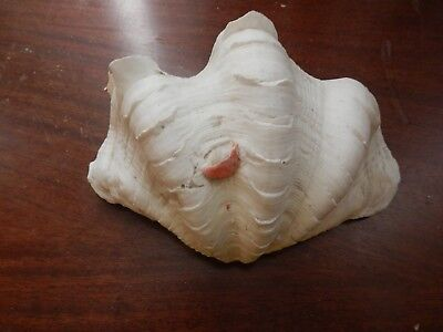 Tridonca Spamosa Flute Clam