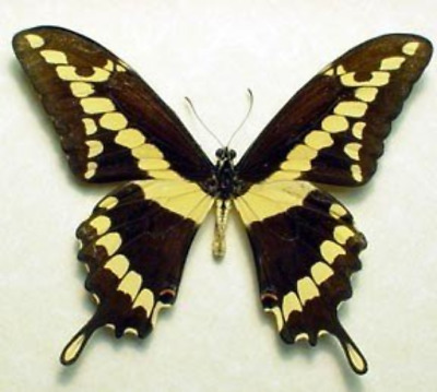 Real Framed Papilio Cresphontes North American Giant Swallowtail Butterfly 6282