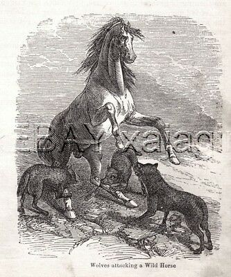 WOLF Attacks Wild Rearing Horse, Woodcut Print 1860s